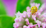 yellow ladybug on violet flowers