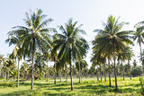 Coconut plantation