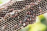 Nest of Hornet
