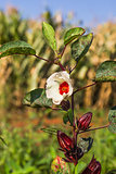 Roselle or Hibiscus sabdariffa