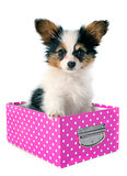 papillon puppy in a box