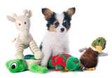 papillon puppy and toys