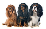 three cavalier king charles