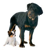 papillon puppy and rottweiler