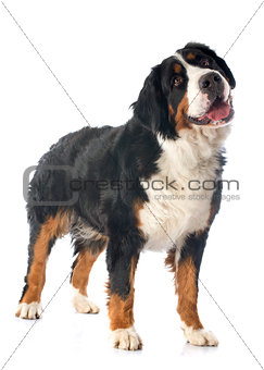 bernese moutain dog