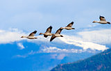 Snow Geese Flying Mountains Skagit Valley Washington