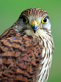 Portrait of Northern Goshawk