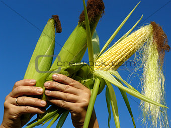 three corn cobs