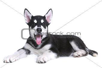 Alaskan Malamute Puppy on White Background in Studio