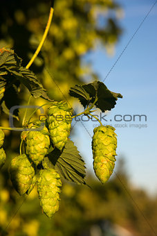 Green Hops Growing on the Vine Farmers Agriculture Field