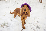 funny cocker spaniel in hat