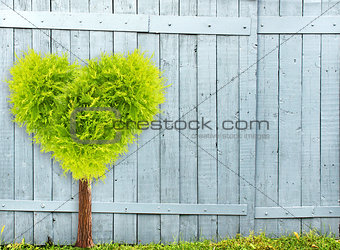 Old wooden fence and heart shape tree