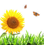 Sunflower, green grass and butterflies