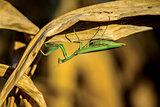 Mantis and corn
