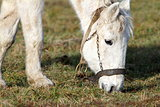 closeup of grazing horse