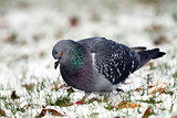 pigeon searching food in snow
