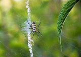 Spider hunting (Argiope bruennichi)
