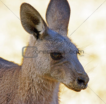 Great Grey Kangaroo, Australia