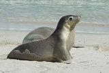Seals, Kangaroo Island, Australia