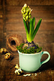 growing spring flower in a cup