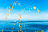 Wheat stems standing by the sea