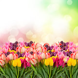 spring tulips on coloful