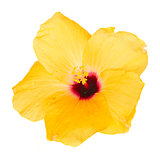 one yellow hibiscus flower