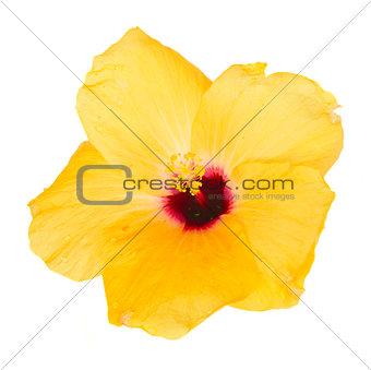 one yellow hibiscus flower