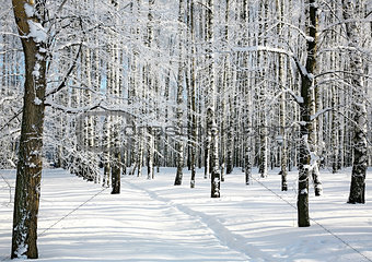 Ski run in winter sunny forest