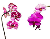 two pink and tiger orchids
