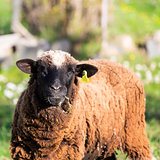 Brown Woolly Sheep