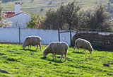 Group White Sheep Grazing
