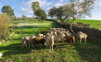 Group White Sheep Grazing