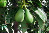 Bunch of Avocado hanging on the tree branch