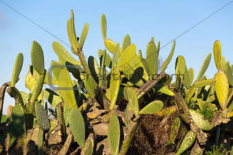 Chumbera Nopal Cactus Plant