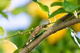 Locust sits on a Branch of Lemon Tree