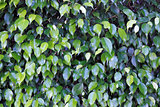 Ficus Shrub Background