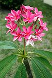 Vibrant Pink Plumeria Flowers