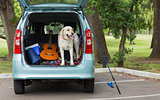 Domestic dog in car trunk