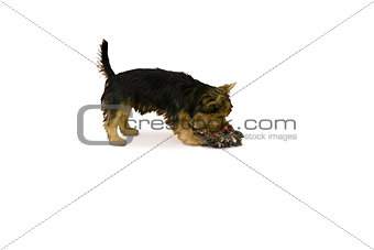 Yorkshire terrier playing with chew toy