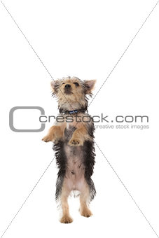 Cute yorkshire terrier puppy rearing up