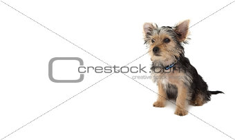 Cute yorkshire terrier puppy sitting