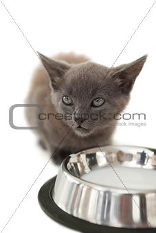 Grey kitten sitting beside milk in a bowl