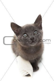 Grey kitten with a bandage on its paw