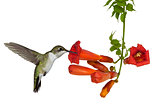 Hummingbird and a Trumpet Vine