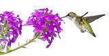 Hummingbird and a Phlox