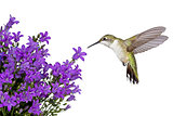 hummingbirds positioned over a purple bellfower