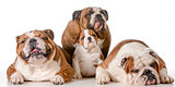 family of bulldogs