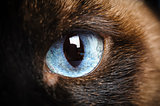 one siamese cat eye macro closeup