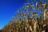 Cornfield and blue sky at nice sun day